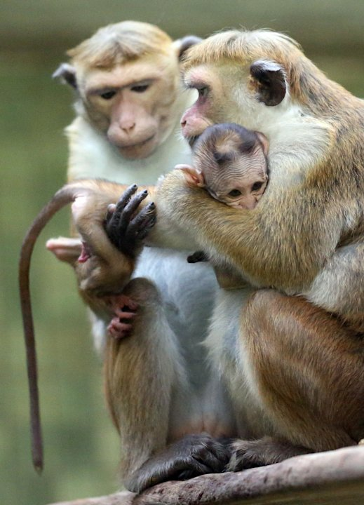 Baby Toque Macaque Born At Berlin Zoo