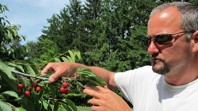 In this June 28, 2013, photo Patrick McGuire of Atwood, Mich., examines sweet cherries growing in his orchard. McGuire says a labor shortage caused by the immigration controversy is making it difficult for him and other Michigan fruit growers to harvest their crops. (AP Photo/John Flesher)