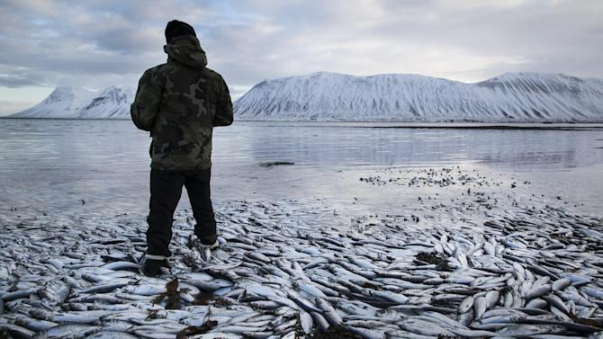 Herring worth  billions in exports are seen floating dead Tuesday Feb. 5 2013 in Kolgrafafjordur, a small fjord on the northern part of Snaefellsnes peninsula, west Iceland, for the second time in two months. Between 25,000 and 30,000 tons of herring died in December and more now, due to lack of oxygen in the fjord thought to have been caused by a landfill and bridge constructed across the fjord in December 2004. The current export value of  the estimated 10,000 tons of herring amounts to ISK 1.25 billion ($ 9.8 million, euro 7.2 million), according to Morgunbladid newspaper. (AP Photo/Brynjar Gauti)