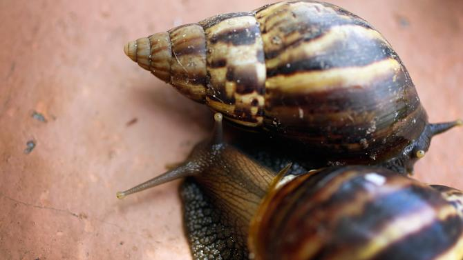 Dep't Of Agriculture Warns Of Arrival Of Giant African Land Snails In U.S.