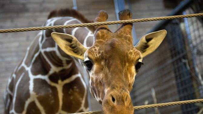 Marius the giraffe is pictured in Copenhagen Zoo