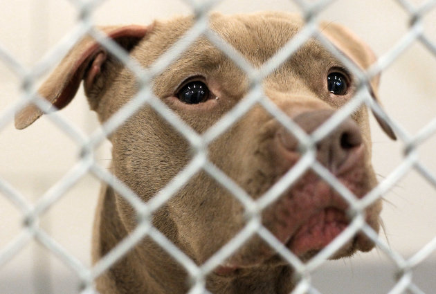 FILE - This March 8, 2012 file photo shows Prada, a 4-year-old pit bull mix, at an animal control facility in Nashville, Tenn. Prada, who sat on doggy death row for more than a year before given a reprieve, is now officially free from government captivity and headed toward TV stardom. The mutt was released Thursday, April 26, 2012 from Nashville's Animal Control facility, where the dog had been held since January 2011. (AP Photo/Mark Humphrey, File)