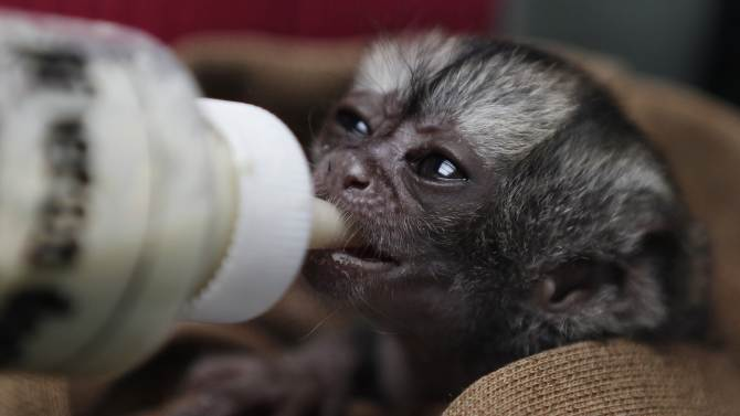 A 15-day-old night monkey is feed by a veterinarian at a temporary shelter west of Bogota, Colombia, Monday, Feb. 18, 2013. Sponsored by Bogota's Ministry of Environment, the shelter receives between 3,000 and 3,500 wild animals a year; some seized from poachers and others found hurt. An estimated $560,000 U.S. dollars are spent in the recovery and care of these animals. Seventy percent of rescued animals are reintroduced to their habitat and the remaining 30% are sent to zoos around the country. (AP Photo/Fernando Vergara)