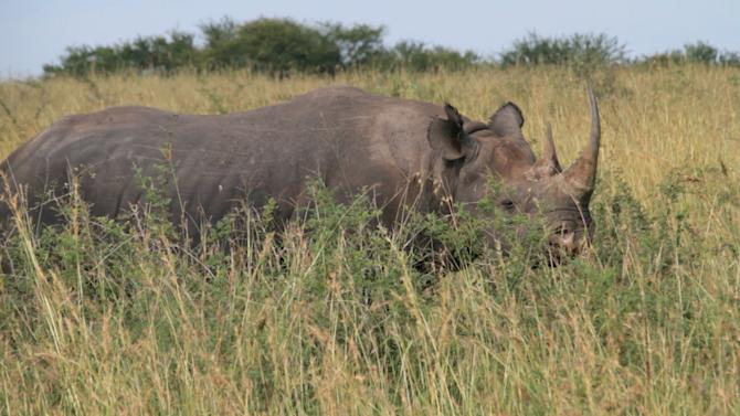 Scouring The Serengeti For The Elusive Black Rhino