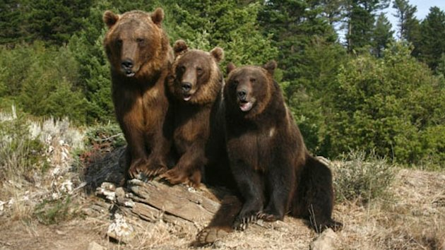Montana Man Killed by Grizzlies (ABC News)