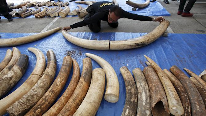 A customs officer measures confiscated elephant tusks before a news conference at the customs department in Bangkok