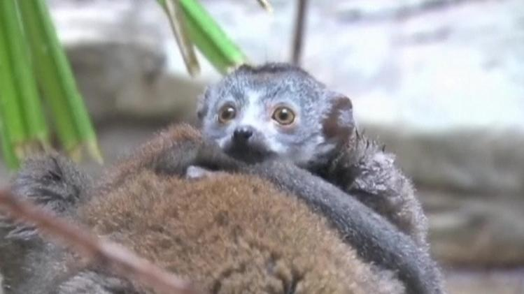 Rare Lemur among baby animals debuted at Cleveland zoo