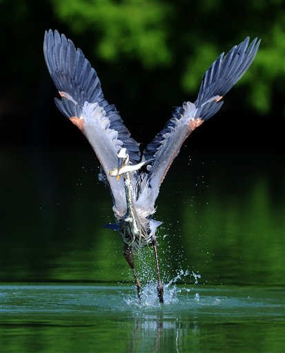 A great blue heron captures a fish, Wednesday, May 2, 2012 at East Lake Park in Birmingham, Ala. The park is one of a number of sites in Jefferson and Shelby counties on the new Appalachian Highlands 