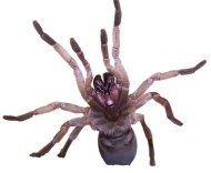 A new protein discovered in the venom of Australian tarantulas can kill prey insects that consume the venom orally.