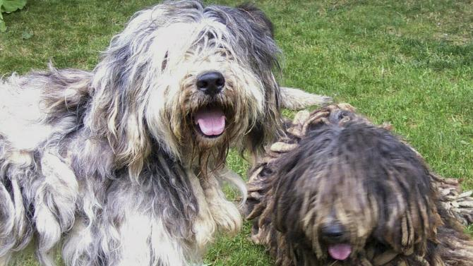 The American Kennel Club's handout  photo of the Bergamasco dog from Italy a herding dog with a unique coat made of long mats