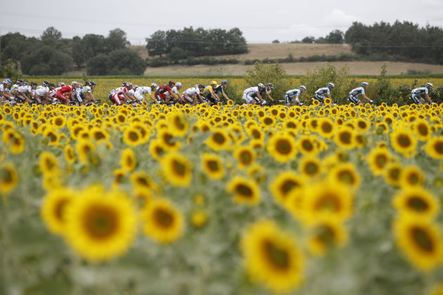 The pack with Bradley Wiggins of Britain, wearing the overall leader's yellow jersey, passes a field with sunflowers during the 18th stage of the Tour de France cycling race over 222.5 kilometers (138