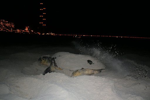 Light Pollution Deters Nesting Sea Turtles