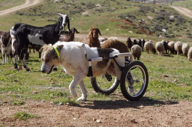 Abayed, a six-year-old herding dog, walks with a specially-made wheeled walking aid outside the Humane Center for Animal Welfare near Amman