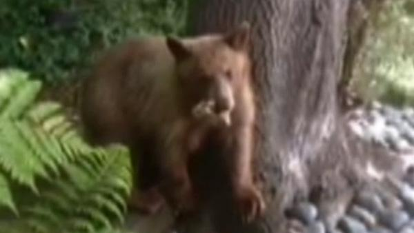 Brown bear visits Pasadena family's yard
