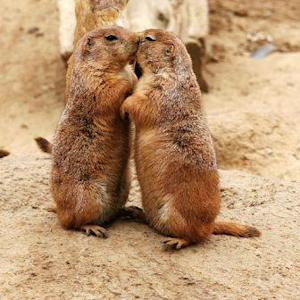 How politics and an earthquake led to prairie dog plague