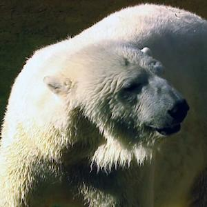 Zoo using dog to detect polar bear's pregnancy