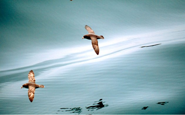 A Northern Fulmar flies over calm seas. Bering Sea, Aleutian Islands, Alaska.  Kevin Schafer / WWF-Canon