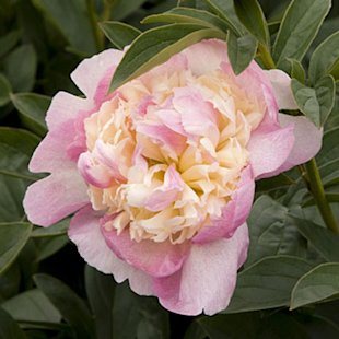 'Raspberry Sundae' Herbaceous peony
