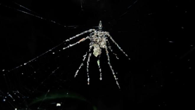 The decoy spider is constructed from pieces of leaves and other debris.