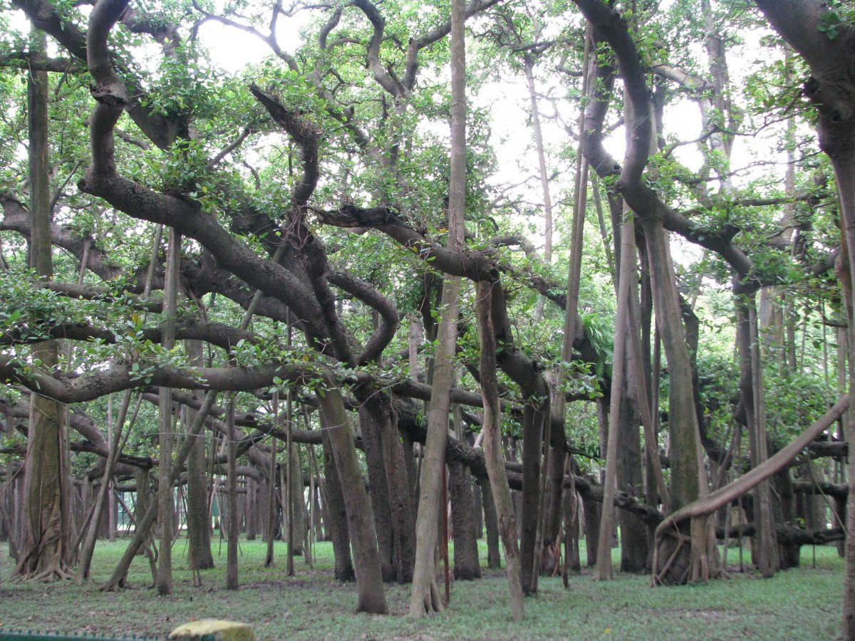 India Kolkata Great Banyan Tree