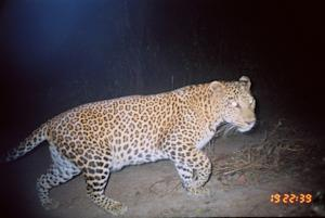 Leopards and Humans Peacefully Coexist in India