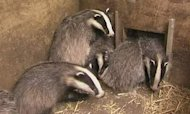 Court To Rule On Culling Thousands Of Badgers