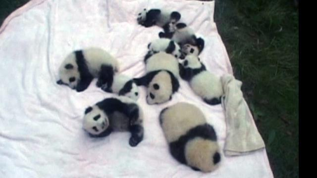 Giant panda cubs celebrate National Day in China