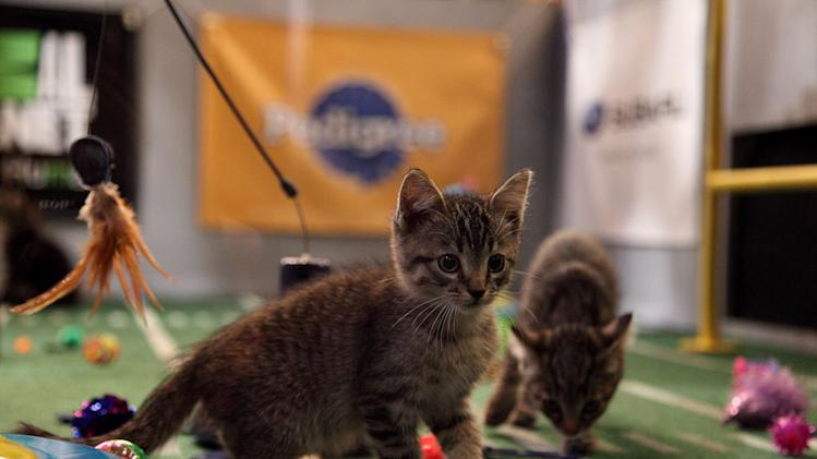 "The kittens play during Kitty Half-time as seen on ""Puppy Bowl VIII."""