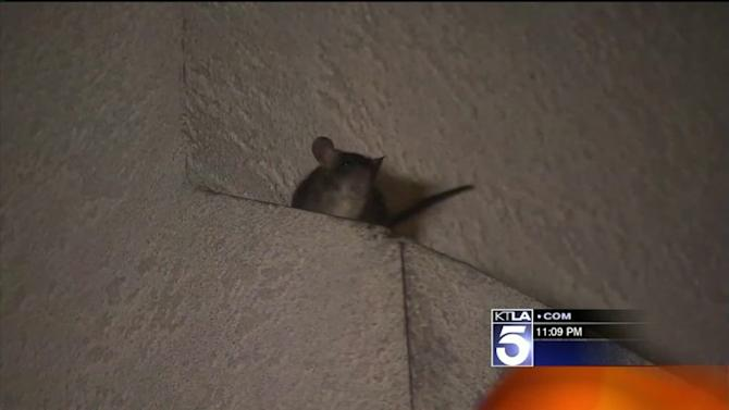 Westchester Residents Say Neighbor is Feeding Rodents, Causing Rat Infestation