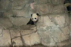 National Zoo's Panda Bao Bao Readies for Big Debut