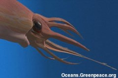 Chilean giant squid