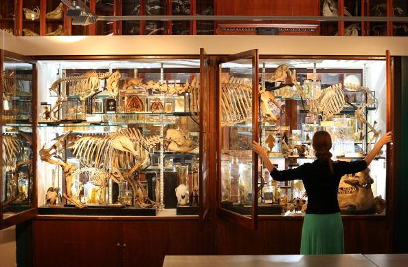 LONDON, ENGLAND - SEPTEMBER 04: Employee Emma-Louise Nicholls checks the display cabinets at The Grant Museum of Zoology on September 4, 2012 in London, England. Containing 67,000 specimens, the Grant