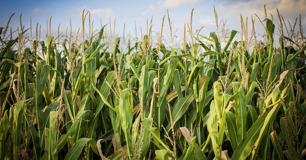 Are the Highs in for the Year in Corn & Beans?