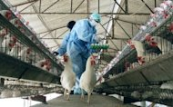 Workers wearing protective suits inspect a poulty farm after a bird flu outbreak. A 10-year-old Cambodian girl has died from bird flu, the World Health Organization said Monday, the country's third fatality from the virulent disease this year