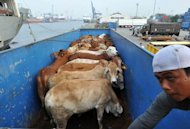 An Indonesian worker loads Australian cattle into a truck in Jakarta on June 8, 2011. Indonesian President Susilo Bambang Yudhoyono has ordered an investigation of slaughterhouses as he sought to ensure meat supplies after Australia suspended live cattle exports due to animal cruelty concerns