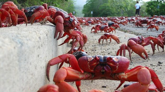 Crustacean Invasion! Millions of Red Crabs Move Onto Christmas Island (ABC News)