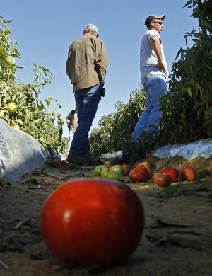 In a Monday, Oct. 3, 2011 photo, tomato farmer Chad Smith, right, looks over one of his fields of ripening tomatoes in Steele, Ala. Only a few of Smith's field workers showed up for work after Alabama's new immigration law took effect last week. Hispanic workers and their children are fleeing Alabama or going into hiding because of the state's strict new immigration law, which will surely deal a significant blow to the state's economy and may slow the rebuilding of Tuscaloosa and other tornado-damaged cities. The impact is being felt from construction sites to farms and schools, and it's driven by fears of being jailed and held without bond if police should catch them without the proper documentation. (AP Photo/Dave Martin)