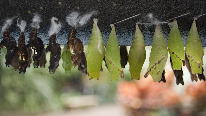 The first shipments of butterflies hang in their cocoons Friday, Feb. 15, 2013 at Frederik Meijer Gardens and Sculpture Park in Grand Rapids, Mich. The 18th annual Butterflies are Blooming exhibit opens March 1.  (AP Photo/The Grand Rapids Press, Sally Finneran ) ALL LOCAL TV OUT; LOCAL TV INTERNET OUT
