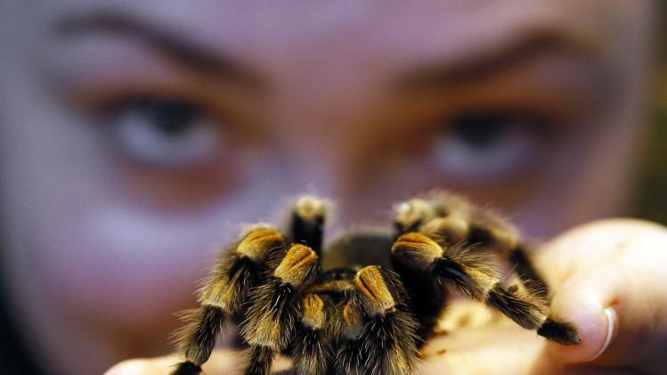 Kepper Amy Callaghan takes a close look at Jill the Red Kneed Spider during the annual stocktake at London Zoo, Thursday, Jan. 3, 2013. More than 17,500 animals including birds, fish, mammals, reptiles and amphibians are counted in the annual stocktake at the zoo. (AP Photo/Kirsty Wigglesworth)