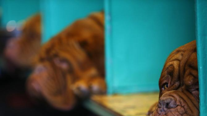 A Dogue de Bordeaux rests during the second day of the Crufts Dog Show in Birmingham