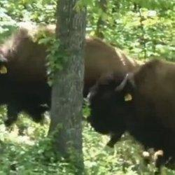Rogue Bison On The Loose In Arkansas