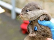 The otter pups were born on June 19, 2012. Shown here, an 8-week old pup at the Perth Zoo.