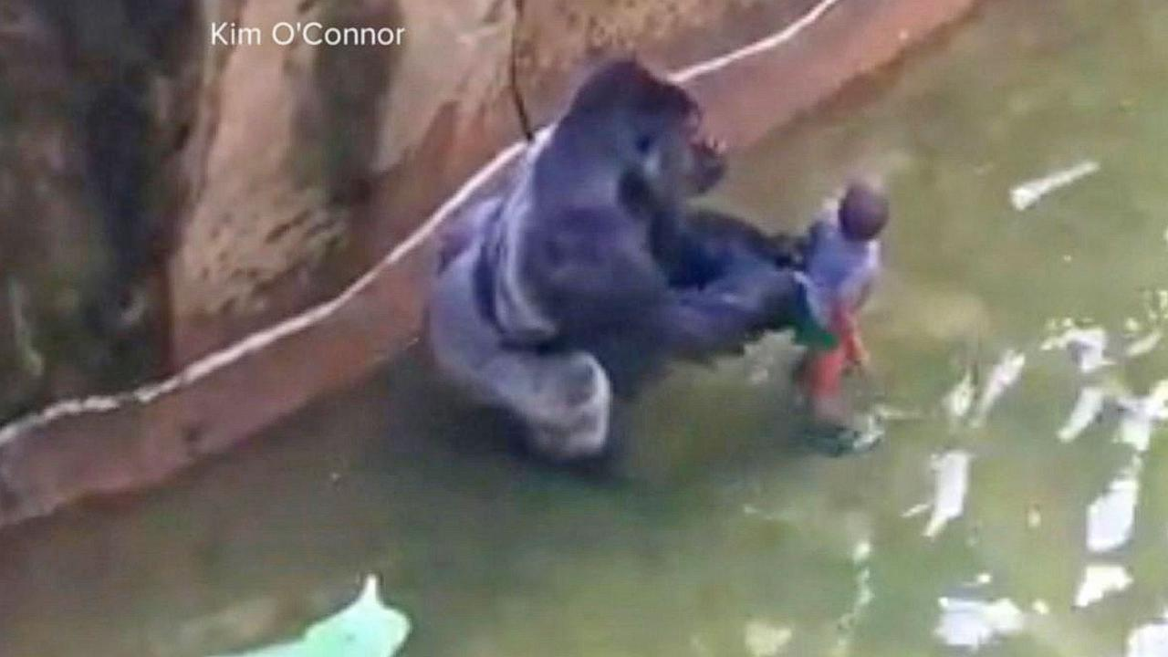 What Happened Inside the Gorilla Enclosure at the Cincinnati Zoo Leading to the Fateful Shot