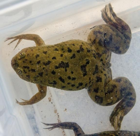 Pregnancy Test Frog May Have Spread Fatal Fungus