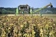 A field worker harvests sunflowers in a field in Slavonia, near the town Osijek in eastern Croatia. An unprecedented drought in the Balkans has dealt a serious blow to agriculture, causing grave losses estimated at more than a billion euros