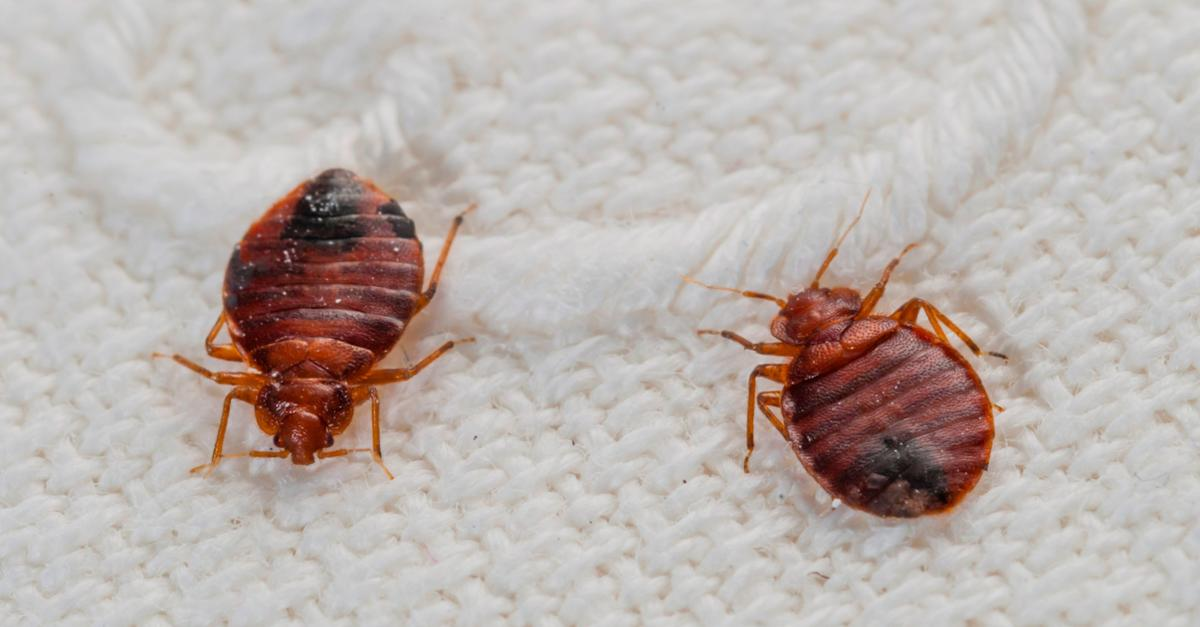 Bed Bugs Are Now In The USA