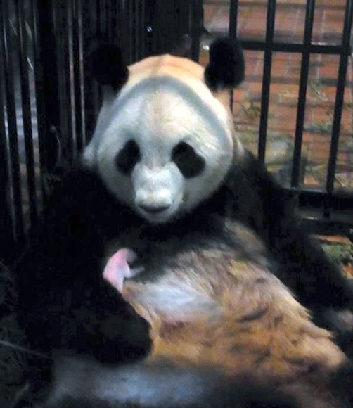Baby giant panda born in Tokyo zoo dies