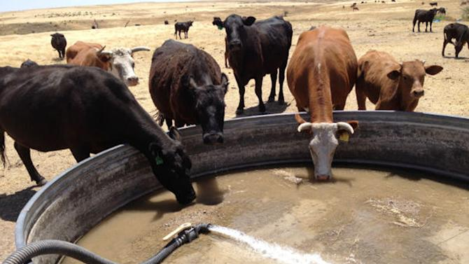 In this photo provided by Coby Baalman, cattle drink from a tank being filled with hauled water because the windmill and underground pump can't keep up with the volume being consumed at the Baalman ranch Wednesday, June 27, 2012, in Menlo, Kan. Across the country, more than 900 heat records have been broken in the past week. If the forecasts hold, an intense heat wave gripping the center and western portion of the country could mean more will fall. (AP Photo/Courtesy Coby Baalman)