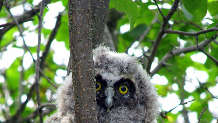"This undated image provided by Explore.org shows a long-eared owl chick perched in a Montana willow tree. Explore.org's ""Pearls of the Planet"" Internet initiative has plans to mount an infrared camera on top of a pole in willow thickets on Montana rangeland to study long-eared owl nests. (AP Photo/Explore.org, Christina Nealson)"