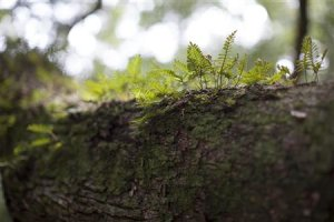 Resurrection fern grows on the branches of the Angel …